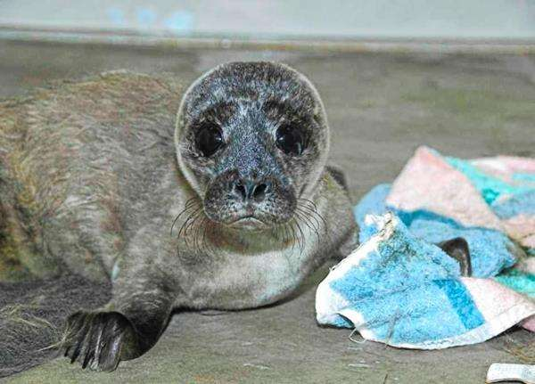 Rescued Ross seal pup still had umbilical cord