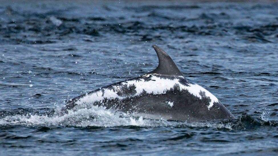 A previous snapshot of Spirtle, with her healing scars clearly visible. Picture: Whale And Dolphin Conservation (WDC).